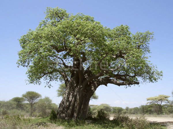 Stock photo: old Baobab tree