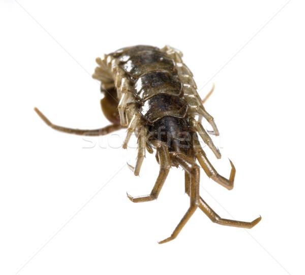 dead supine centipede Stock photo © prill
