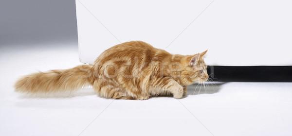 Maine kitten jonge kat Rood vloer Stockfoto © prill