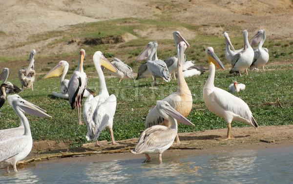 Stock fotó: Nagyszerű · fehér · Uganda · díszlet · madarak · Afrika