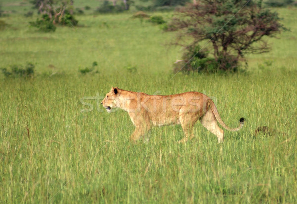 Lion in the african savannah Stock photo © prill