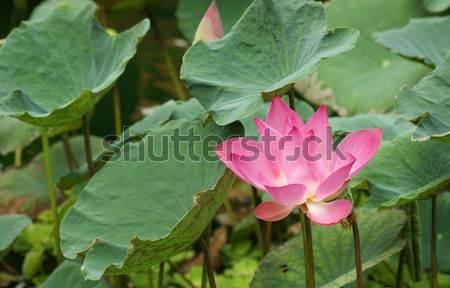 lotus flower Stock photo © prill