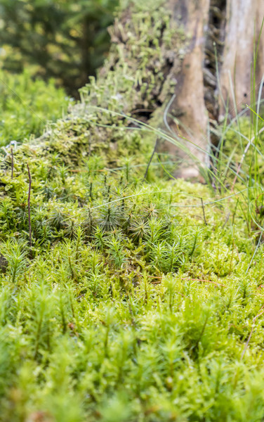 ground cover vegetation Stock photo © prill