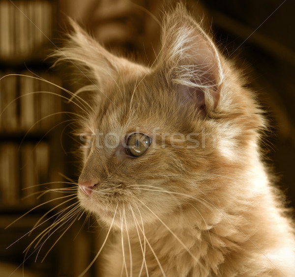 Maine kitten portret Rood dier vreugde Stockfoto © prill