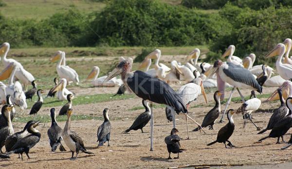 Madarak királynő park Uganda különböző Afrika Stock fotó © prill
