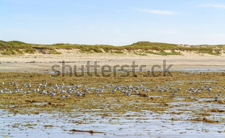beach and water birds in Brittany Stock photo © prill