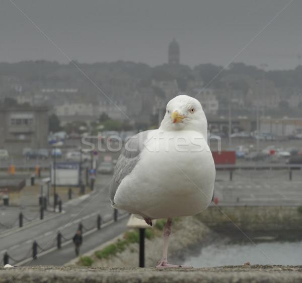 gull at Saint-Malo Stock photo © prill