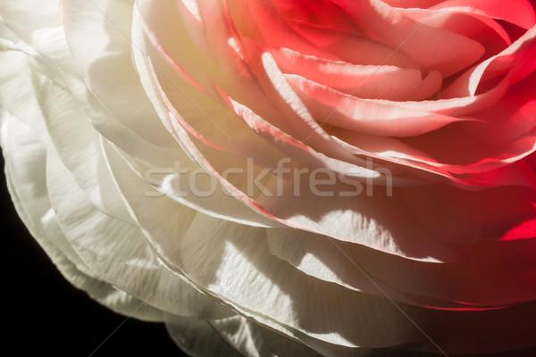 buttercup flower detail Stock photo © prill