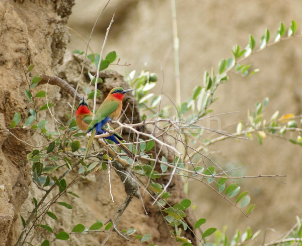 Foto stock: Colorido · aves · Uganda · África · grande · terra