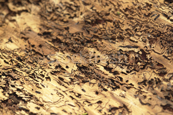bark beetle traces Stock photo © prill