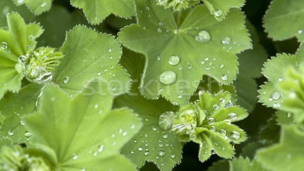 repellent leaf detail Stock photo © prill