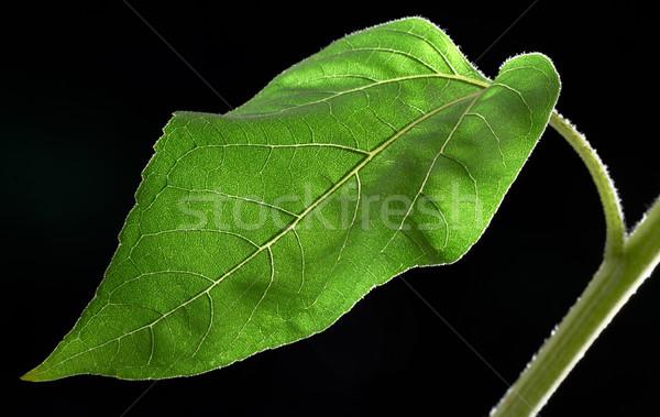 sunflower leaf closeup Stock photo © prill