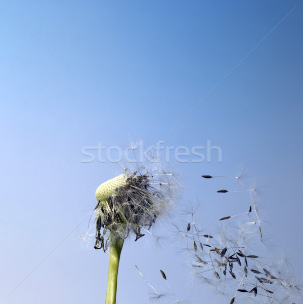 blown dandelion flower Stock photo © prill
