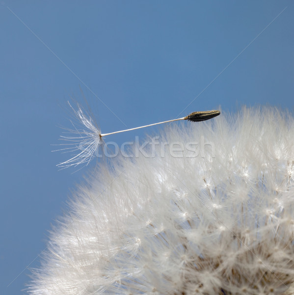 dandelion seeds in blue back Stock photo © prill