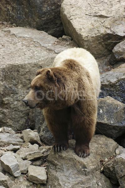 Bruine beer rotsformatie shot natuur Stockfoto © prill