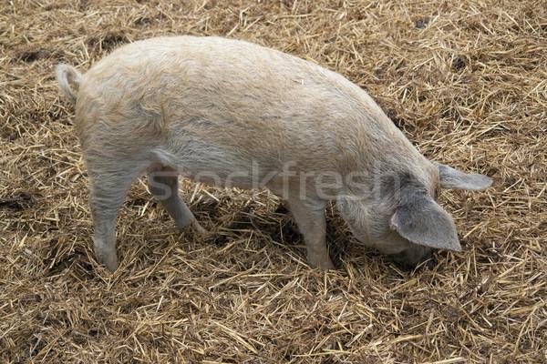 Doméstico porco estrume tiro Foto stock © prill