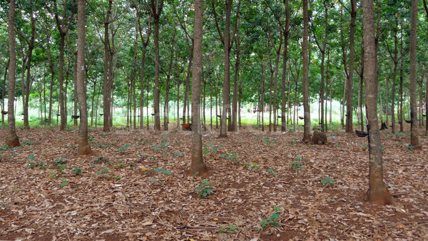 rubber tree plantation Stock photo © prill