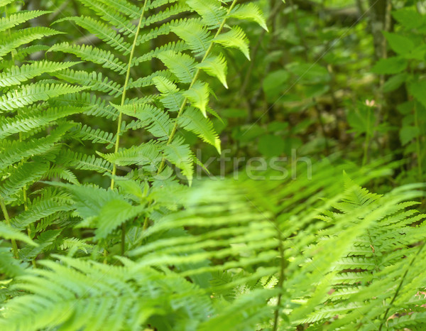 green fern leaves Stock photo © prill