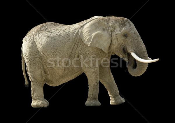 Elefante africano preto de volta animal isolado marrom Foto stock © prill