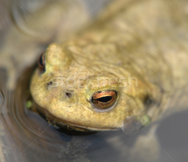 common toad portrait Stock photo © prill