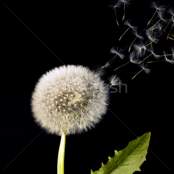 blowball and flying dandelion seeds Stock photo © prill