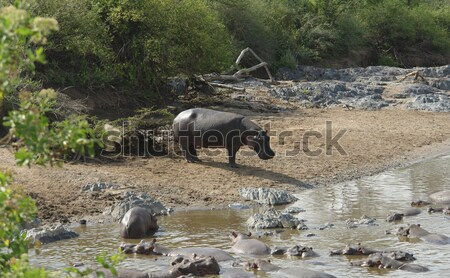 some Hippos waterside Stock photo © prill