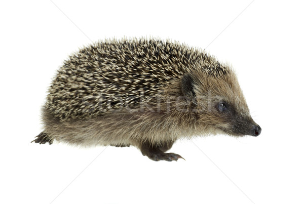 walking hedgehog in white back Stock photo © prill