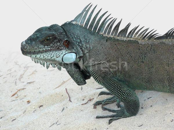 Verde iguana retrato praia caribbean noite Foto stock © prill