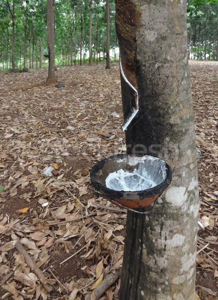 rubber tree plantation Stock photo © prill