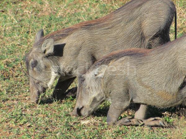 Südafrika grasbewachsenen Afrika Schwein african Safari Stock foto © prill