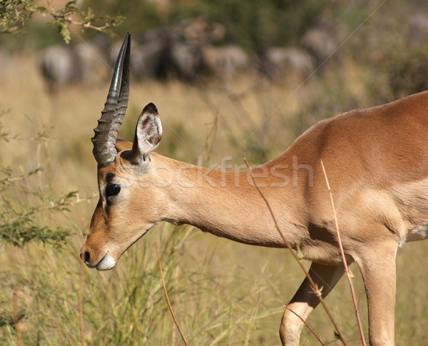 Stock photo: Antelope in Botswana