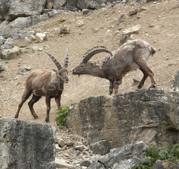 two Alpine Ibex at fight in stony ambiance Stock photo © prill