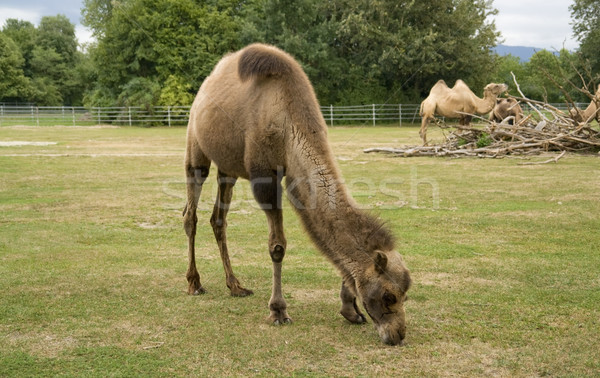 Bactrian Camels Stock photo © prill