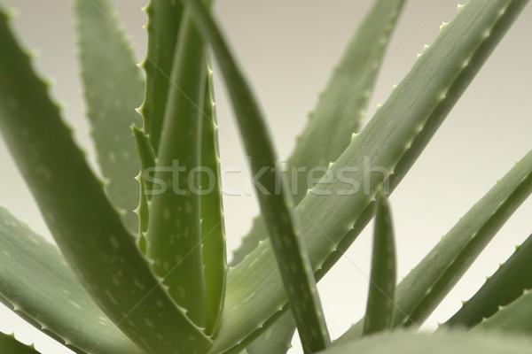 agave plant Stock photo © prill