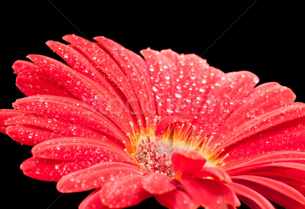 wet red gerbera flower closeup Stock photo © prill