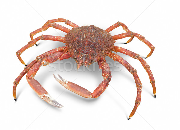 european spider crab Stock photo © prill