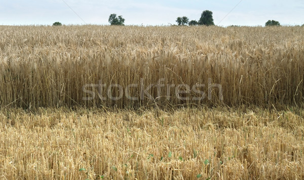 wheat detail at summer time Stock photo © prill