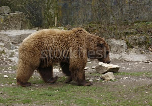 Brown Bear sideways Stock photo © prill