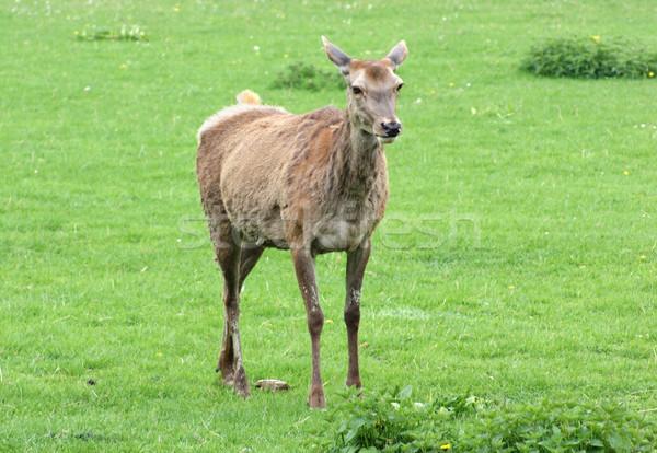 Red Deer on green grassland Stock photo © prill