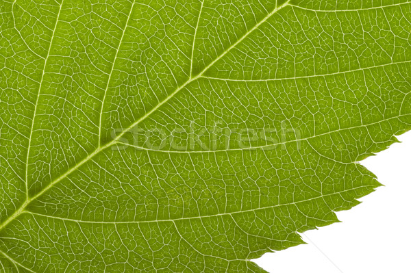 green macro leaf Stock photo © prill