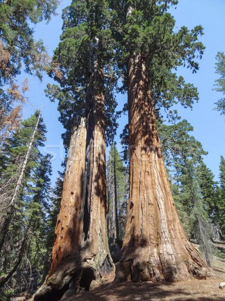 Sekwoja parku dekoracje kanion drzew California Zdjęcia stock © prill