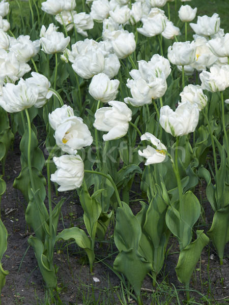 Tulipán flores blanco primavera amor Foto stock © Pruser