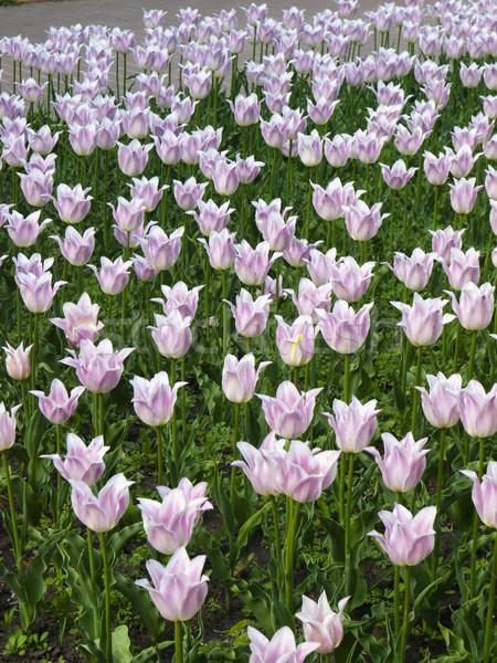 Tulipán flores original denso púrpura Foto stock © Pruser