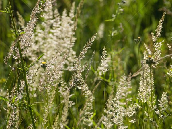 Hierba verde verano campo flor hierba Foto stock © Pruser