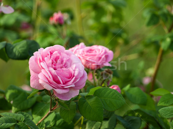 Gyönyörű rózsa zöld korai kora reggel virág Stock fotó © Pruser