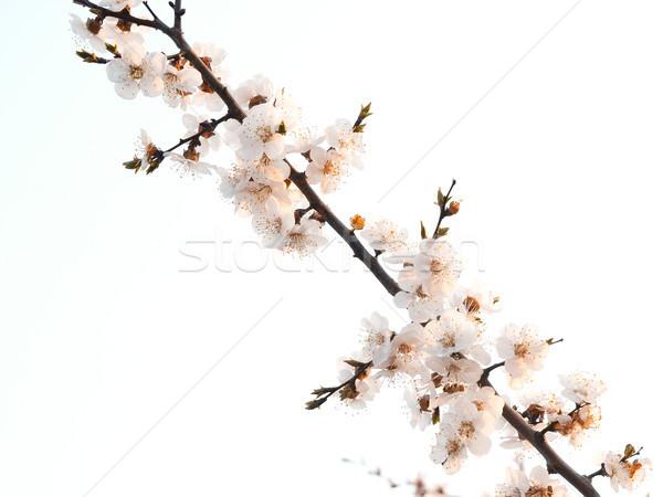 Albaricoque rama flores manana sol Foto stock © Pruser
