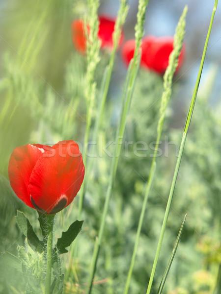 красный мак плотный зеленая трава синий цветы Сток-фото © Pruser