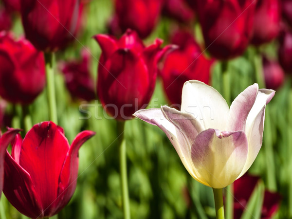 White tulip and red tulips Stock photo © Pruser