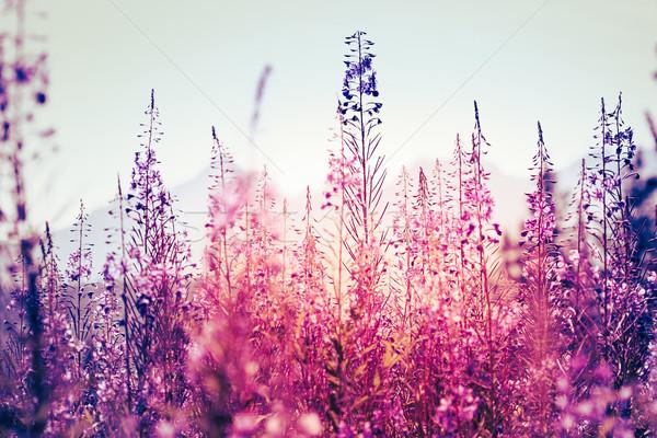 Flores pôr do sol flor grama jardim saúde Foto stock © przemekklos