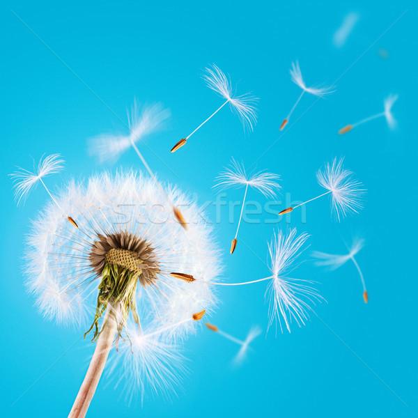 Dandelion seeds blown in the sky Stock photo © przemekklos